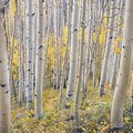 Interesting Facts About Birch Trees
