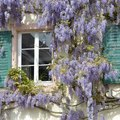 How to Grow Wisteria from Seeds