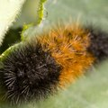 How to Identify Woolly Bear Fuzzy Caterpillars