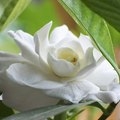 What Kind of Food Do Gardenia Plants Need?