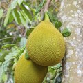 How to Grow Jackfruit From Seeds