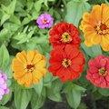 Are Zinnia and Dahlia Flowers Similar?