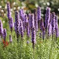 How to Plant Liatris Spicata