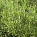 How to Treat Powdery Mildew on Rosemary Leaves