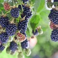 When Do Wild Blackberries Ripen?