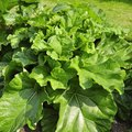 How to Transplant Rhubarb Plants