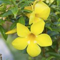 Description of the Yellow Bell Flower