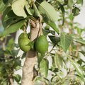 Avocado Tree Zones
