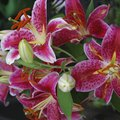 Care for a 'Stargazer' Lily
