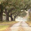 Live Oak Tree Vs. Laurel Oak Tree
