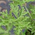 The Citronella Mosquito Plant