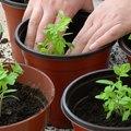 How to Fix Leggy Tomato Seedlings