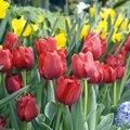 Tulip Flower Description