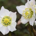 How to Transplant Helleborus