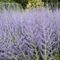 How Is Russian Sage Poisonous?