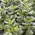 Are Jade Plants Poisonous?