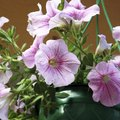 Are Petunias Annual or Perennial?