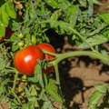 Tomato Plant Diseases Identification