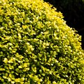 What Fertilizer Is Good for a Golden Euonymus?