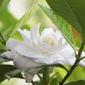 How to Get Rid of Insects on Gardenias