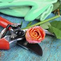 How to Prune Roses After Bloom