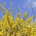 When Does Forsythia Bloom in Zone 6?