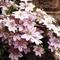 How to Grow and Care for Nelly Moser Clematis