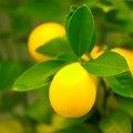 How to Espalier a Lemon Tree