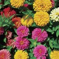 Can Zinnias Grow in Part Shade?