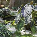 How to Transplant Elephant Ears