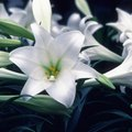 How to Stop the Smell of Easter Lilies