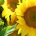 Can You Transplant Sunflowers?