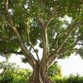 How to Germinate a Ficus Religiosa