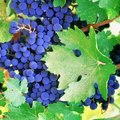 How to Identify Grapevine Leaves
