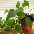 How to Propagate a Golden Pothos