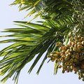 How to Care for an Areca Palm Tree