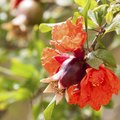 When Do Pomegranate Trees Bloom?