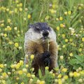 How to Identify if I Have Moles or Groundhogs in My Yard