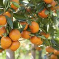 What is the Fastest Growing Fruit Tree?