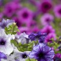 How to Get Rid of Worms on Petunias