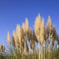 When to Plant Pampas Grass