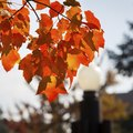 'Autumn Blaze' Maple Problems