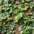 How to Care for a Creeping Fig