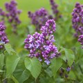 Can You Graft a Lilac Tree?