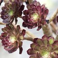 How to Care for Aeonium