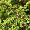 How to Stop Juniper Bushes From Turning Brown