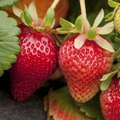 Companion Plants for Strawberries