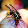 How to Prevent Yellow Jacket Insects Around the Patio