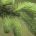 How To Train A Weeping Norway Spruce