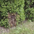 What to Do if Thuja Occidentalis Trees Have Turned Brown